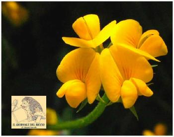 fiore-ginestra_m.jpg